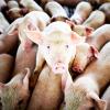 США обвиняют Россию в нарушении норм ВТО из-за запрета на поставки говядины и свинины